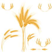 Ripe Ears wheat set. Isolated detailed template. - stock illustration