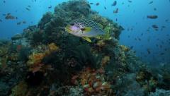 Batfish, harlequin sweetlips and oriental sweetlips fish on coral reef Stock Footage