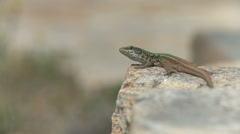 Lizard taking a sunbath Stock Footage