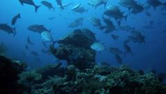 School of bluefin trevally swimming over coral reef Stock Footage
