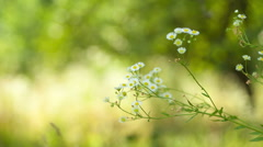Little daisies on a green background Stock Footage
