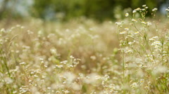 Chamomile field Stock Footage