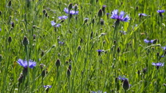 Wheat and cornflowers. Stock Footage