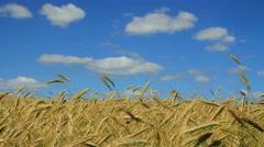 Growing wheat field Stock Footage