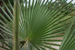 Leaves of fan palm or palmito Stock Photos