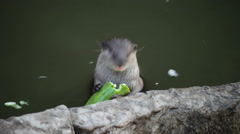 Otter eating cucumber Stock Footage