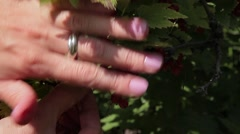 Stock Video Footage of Stock Video Footage Berries Red Currant 2