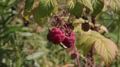 Stock Video Footage Berries Harvesting Raspberries - stock footage