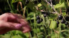 Stock Video Footage Berries Black Currant Stock Footage