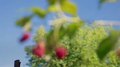 Stock Video Footage Berries Raspberries in the blue sky Stock Footage