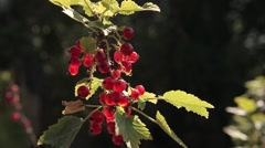 Stock Video Footage Red Currant Berries Transparent Sun Stock Footage