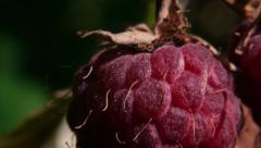Stock Video Footage Berries Raspberry macro Stock Footage