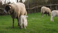 Suckling lamb Sheep - stock footage