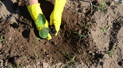 farmer with yellow gloves planting cucumber seedling in ground - stock footage