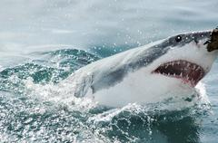 Shark attack in Gaansbai, South Africa - stock photo