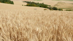 Harvesting Wheat From a Field With a Combine Stock Footage