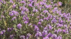 Desert. Wild violet flowers, with bees, grown on arid land in warm climate. Stock Footage