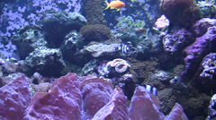 Zebra fish swim with other fish in enclosed tank silent Stock Footage