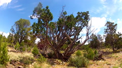 Slow Zoom On Scraggly Juniper Tree At Walnut Canyon Stock Footage