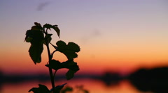 Silhouette of plants at sunset. Insects fly over the plant at sunset. Stock Footage