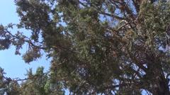 4K UHD ULTRA HD (Pine Tree) Kulltech Stock Footage