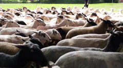 Freslhly shorn sheep Stock Footage