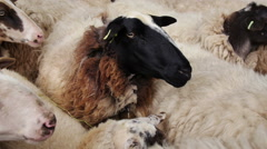 Sheep waiting to be shorn Stock Footage