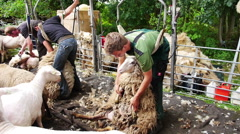 Sheep being shorn Stock Footage