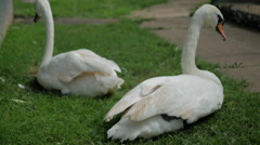 Two Swans Sitting on the Grass - stock footage