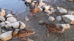 Duck swimming and finding foods near lake Stock Footage