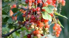 Currants branch Stock Footage