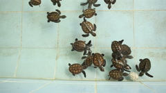 Thailand Baby Green Sea Turtles swimming Stock Footage