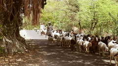 Indian shepherds lead sheep on the road Stock Footage
