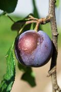 Plums on the tree Stock Photos