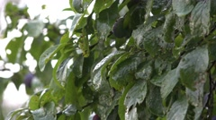 Wet Dripping Green Leaves During Rainfall Stock Footage