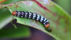 Beautiful worm of butterfly eating leaf and defecate Stock Footage