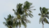 Stock Video Footage of Palm Trees Blowing in the Wind.