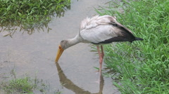 Stork walks along the creek Stock Footage