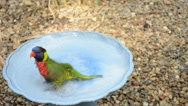 Stock Video Footage of Tropical Bird Bathing (Green-Naped Lorikeet)