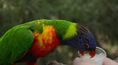 Tropical Bird Feeding (Green-Naped Lorikeet) Stock Footage