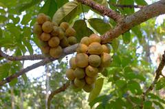 Longkong (langsat) on the tree Stock Photos