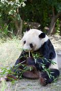 huge panda a bear is bamboo escapes - stock photo