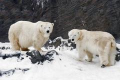 Polar bear - ursus maritimus Kuvituskuvat