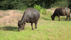 Water buffaloes eat fresh grass and walk in field Stock Footage