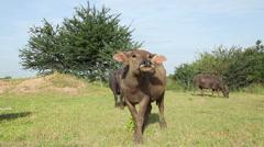 Water buffalo looking at camera and come forward Stock Footage