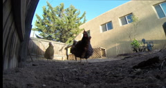 2D chickens pecking in yard Stock Footage
