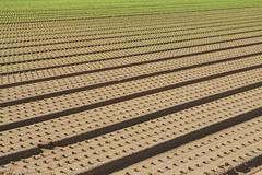 row of seedlings growing in the agricultural field  - stock photo