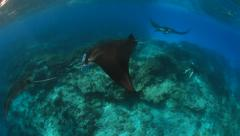 Manta Rays courting train Stock Footage