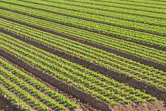 cultivation of green salad in agricultural area  - stock photo