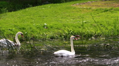Swans pair. White birds swimming in river water Stock Footage
